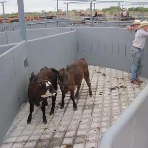 Cows and calves are sorted in pens