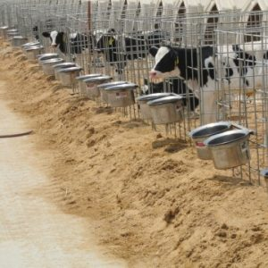 Holstein bull confinement feedyard in China