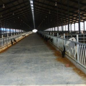 Bull calf feed yard