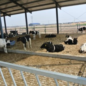 Holstein bull confinement feedyard