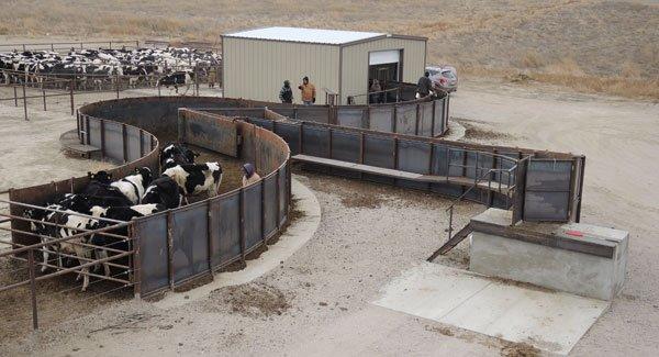 Feedyard Cattle Handling Systems