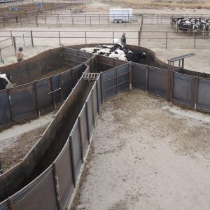 Cattle move through the 12-foot crowd pen