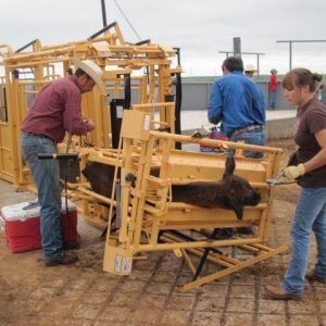 Calf chute tilts for castration