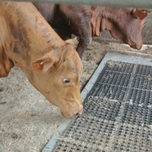 Sudden changes in floor surfaces cause cattle to balk