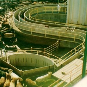 Large high speed Cattle slaughter plant serpentine
