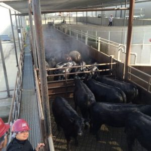 Over-head sprinklers wash cattle and cool cattle