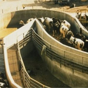 Half circle concrete crowd pen in large cattle slaughter plant