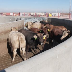 concrete walls in slaughter plant are safe for cattle