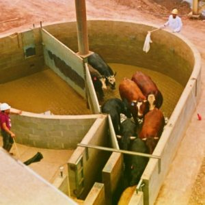 A 30 degree funnel into the single file chute does not look dead-ended to the cattle