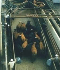 Small groups of cattle are moved from the stockyard