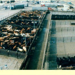 Herringbone pens in a large beef slaughter plant yard