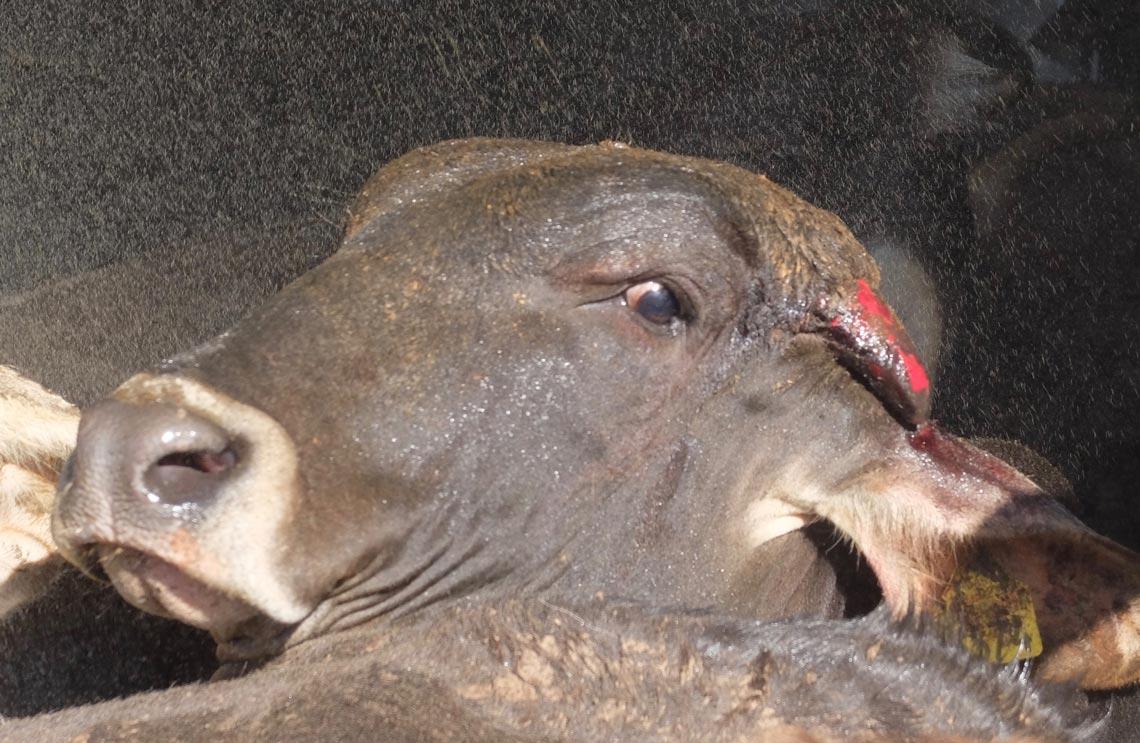 Distressed Animal